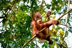 Babyorang-utan, der in die Kamera sitzt auf einer Niederlassung Sumatra, Indonesien spricht Lizenzfreies Stockbild