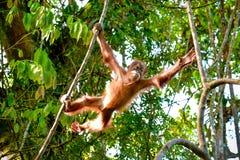 Babyorang-utan, der von einer Niederlassung zu einem anderen Sumatra, Indonesien springt Lizenzfreie Stockfotografie