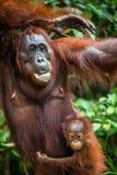Babyorang-utan in der wilden Natur Pongo pygmaeus Lizenzfreie Stockbilder