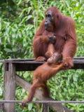 Babyorang-utan spielt mit ihrer Mutter auf einer hölzernen Plattform Lizenzfreie Stockfotos