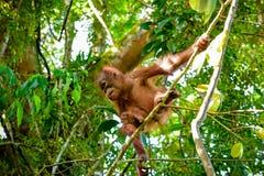Babyorang-utan springt von einer Niederlassung Sumatra, Indonesien Lizenzfreies Stockfoto