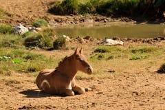 Babypaard in de wildernis, veulen Stock Afbeeldingen
