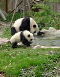 Babypanda mit Trinkwasser der Mutter lizenzfreie stockbilder