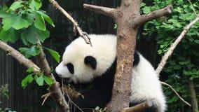 Babypanda in Sichuan Panda Reserve Lizenzfreie Stockfotografie