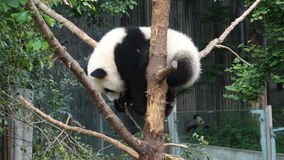 Babypanda in Sichuan Panda Reserve Stockfoto