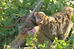 Babypavian auf der Rückseite seiner Mutter Lizenzfreie Stockfotografie