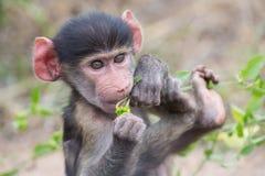 Babypavianporträt, das sehr verwirrte Nahaufnahme schaut Stockfotos