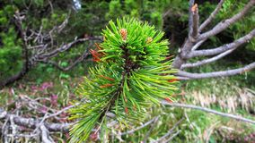 Babypijnboom het groeien in het bos stock foto's