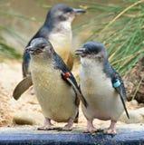 Babypinguine in Melbourne-Zoo lizenzfreie stockfotos