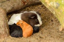 Babyproefkonijnen met Moeder Stock Afbeelding