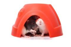 Babyratten in een plastic koepel Royalty-vrije Stock Afbeeldingen