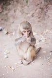Babyrhesusfaktormakaken, der eine Erdnuss in Xichang-Wald isst Stockfoto