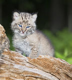 Babyrotluchs Stockfotos