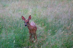 Babyrotwild auf dem Feld Stockbild