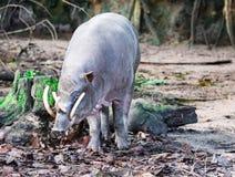 Babyrousa de cerf-porcs de Babirusa tout en recherchant la nourriture sur un soi humide photo stock