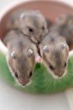 Babys 10 van de hamster Stock Foto's
