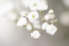 Babys breath Stock Photography