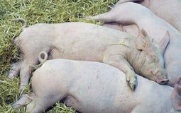 Babys de porcs Photos libres de droits