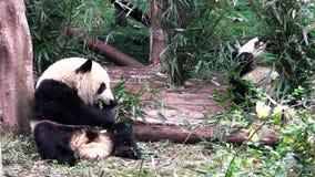 Babys del panda gigante stock footage