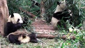 Babys del panda gigante archivi video