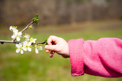 Babys hand touching spring blossom Stock Photography