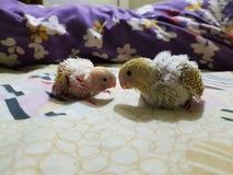 Babys van budgies Stock Foto's