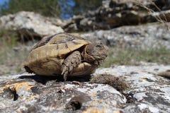 Babyschildkröte, die im Frühjahr blinkt Stockfotografie
