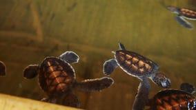 Babyschildkröten, die in einem Pool an einem Schildkrötenbrutplatz in Sri Lanka schwimmen stock footage
