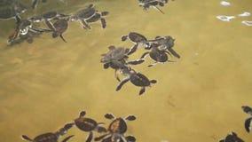 Babyschildkröten, die in einem Pool an einem Schildkrötenbrutplatz in Sri Lanka schwimmen stock video