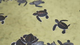 Babyschildkröten, die in einem Pool an einem Schildkrötenbrutplatz in Sri Lanka schwimmen stock video footage