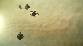 Babyschildkröten, die im Pool am Kosgoda-Lagunen-Schildkrötenbrutplatz schwimmen stock video footage