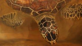 Babyschildkröten, die im Pool am Kosgoda-Lagunen-Schildkrötenbrutplatz schwimmen stock video