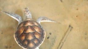 Babyschildkröten, die im Pool am Kosgoda-Lagunen-Schildkrötenbrutplatz schwimmen stock footage