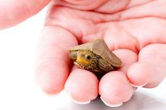 Babyschildpad Royalty-vrije Stock Afbeeldingen