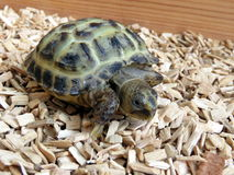 Babyschildpad stock foto