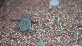 Babyschildpad die op strandzand kruipen naar overzees Tuttle die langs kust kruipen