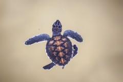 Babyschildpad in een landbouwbedrijf Royalty-vrije Stock Foto's