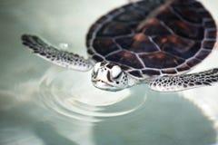 Babyschildpad in een pool stock afbeelding