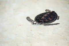 Babyschildpad in een pool royalty-vrije stock foto