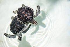 Babyschildpad in een pool royalty-vrije stock foto's