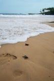 Babyschildpadden Royalty-vrije Stock Afbeelding