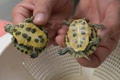 Babyschildpadden Stock Afbeeldingen