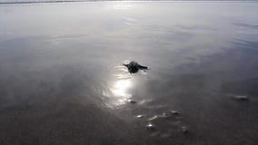 Babyschildpadden Geplaatst Lengte stock video