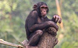 Babyschimpanse, der an einer hölzernen Planke an einem Zoo in Kolkata, Indien anhaftet Stockbild
