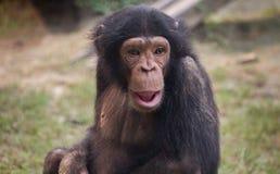 Babyschimpanse im Abschluss oben an einem Tierschongebiet in Indien Stockbild