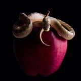 Babyschlange auf Apfel stockfotografie