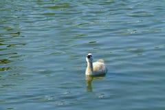 Babyschwan Lizenzfreie Stockbilder