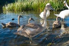 Babyschwannahaufnahme Lizenzfreie Stockbilder