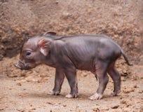 Babyschwein Lizenzfreie Stockfotos