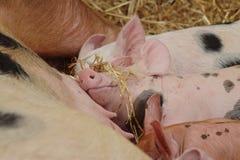Babyschweine, die das Leben genießen Lizenzfreie Stockfotos
